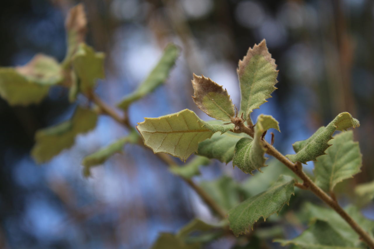 growth, nature, green color, leaf, focus on foreground, plant, day, beauty in nature, outdoors, no people, close-up, fragility, catkin, freshness