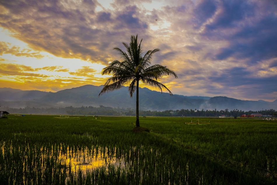 A single coconut tree by the rice field... Nature Sunset Rural Scene Landscape Photography Wonderfulindonesia