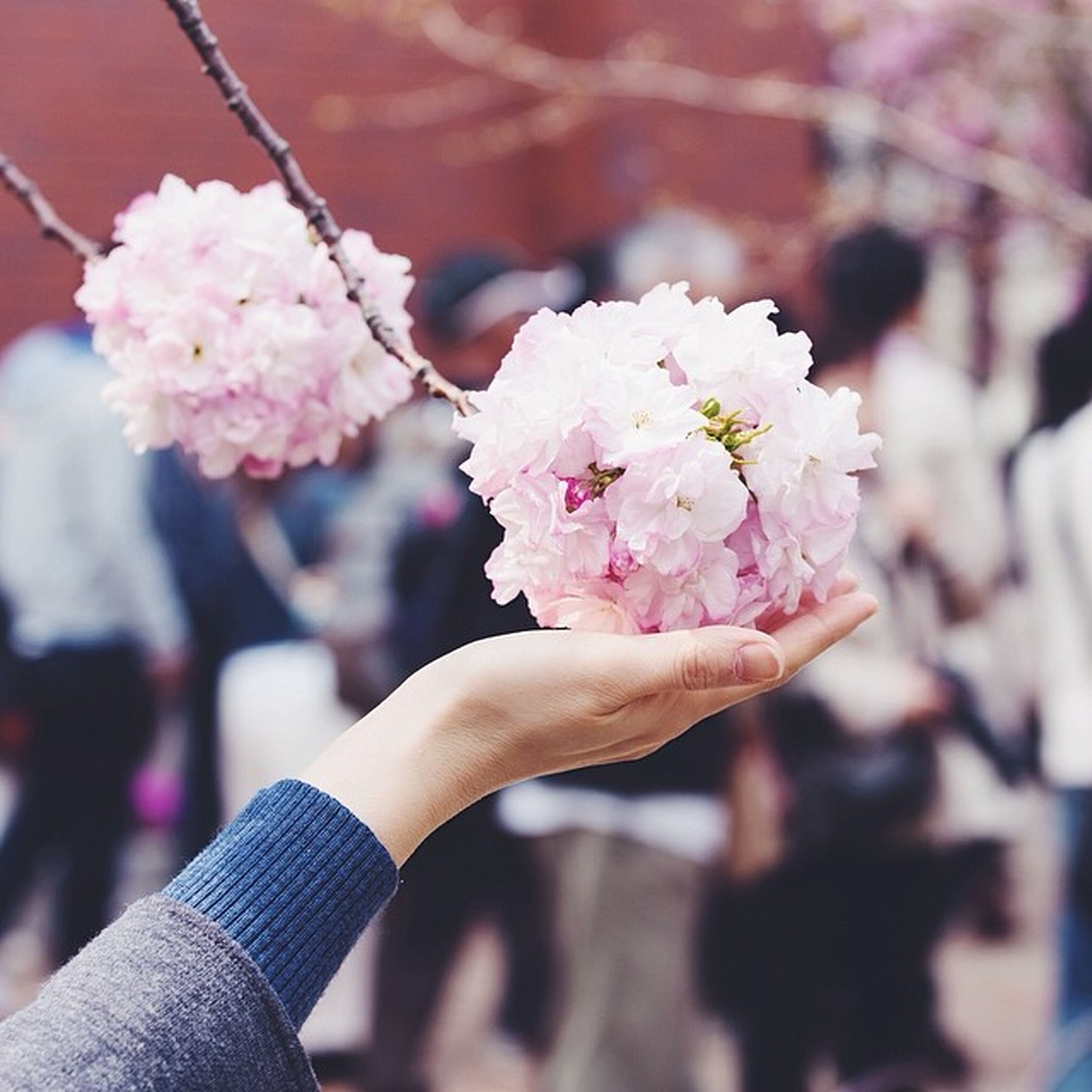 flower, freshness, holding, person, fragility, petal, focus on foreground, pink color, part of, lifestyles, flower head, unrecognizable person, cherry blossom, close-up, beauty in nature, blossom