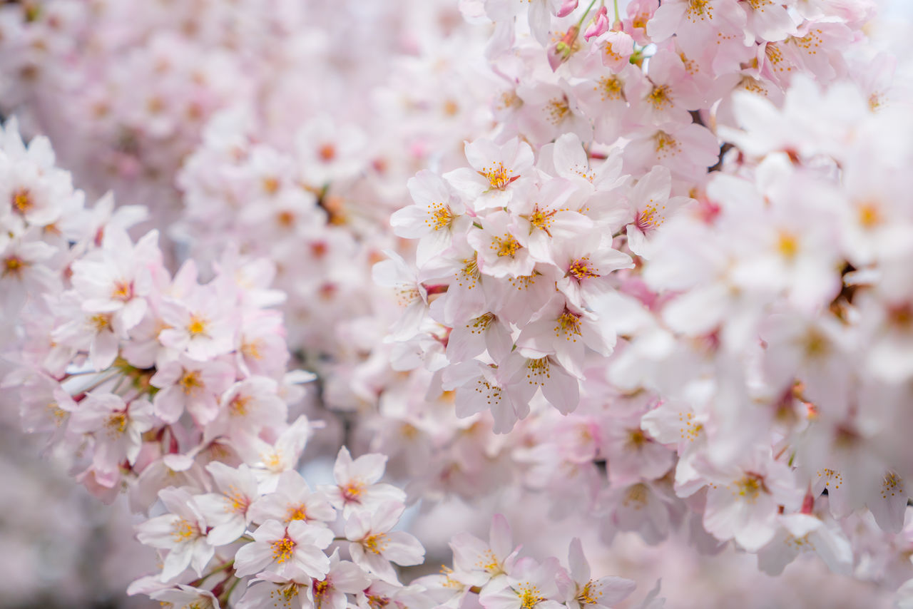 Flower Nature Beauty In Nature Growth Blossom Tree Plant Close-up Freshness Branch Fragility Springtime Petal No People Outdoors Flower Head Almond Tree Day Japan Beauty In Nature Landscape Sakura Sakura2016 Sakura Blossom Fukuoka,Japan