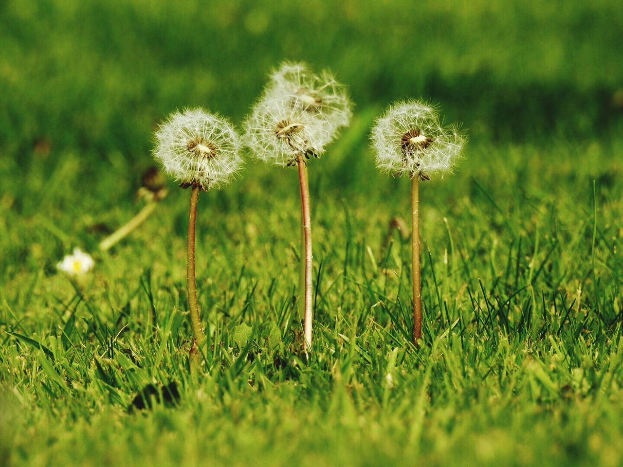 Dandelion Fragility Beauty In Nature Growth Flower Head Grass Freshness Garden Seeds