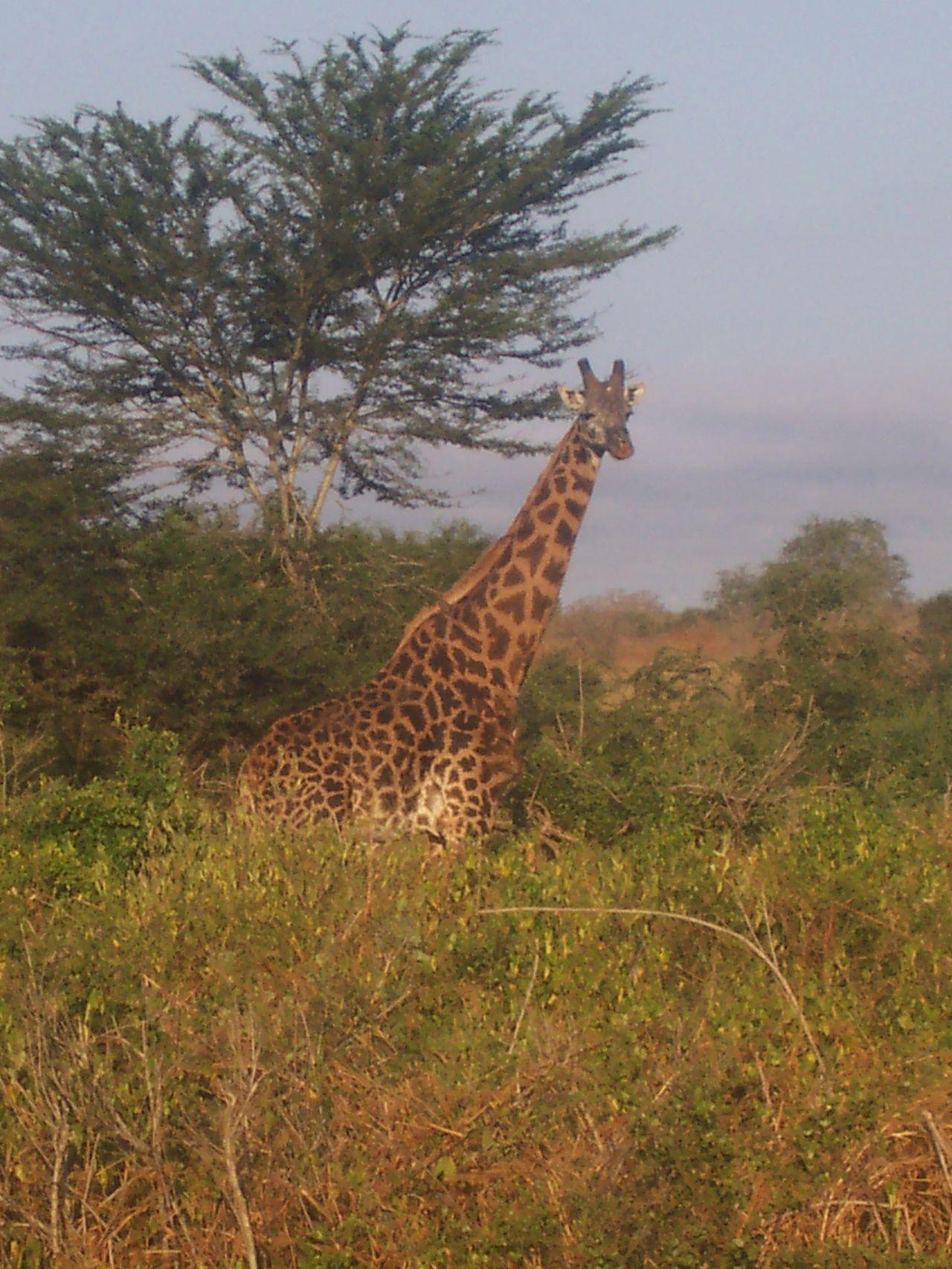 #Nature  #NoFilter #giraffe #kenya #nofiltertravel #safari #travel #travelphotography #wildlife #wildlifephotography Animals In The Wild