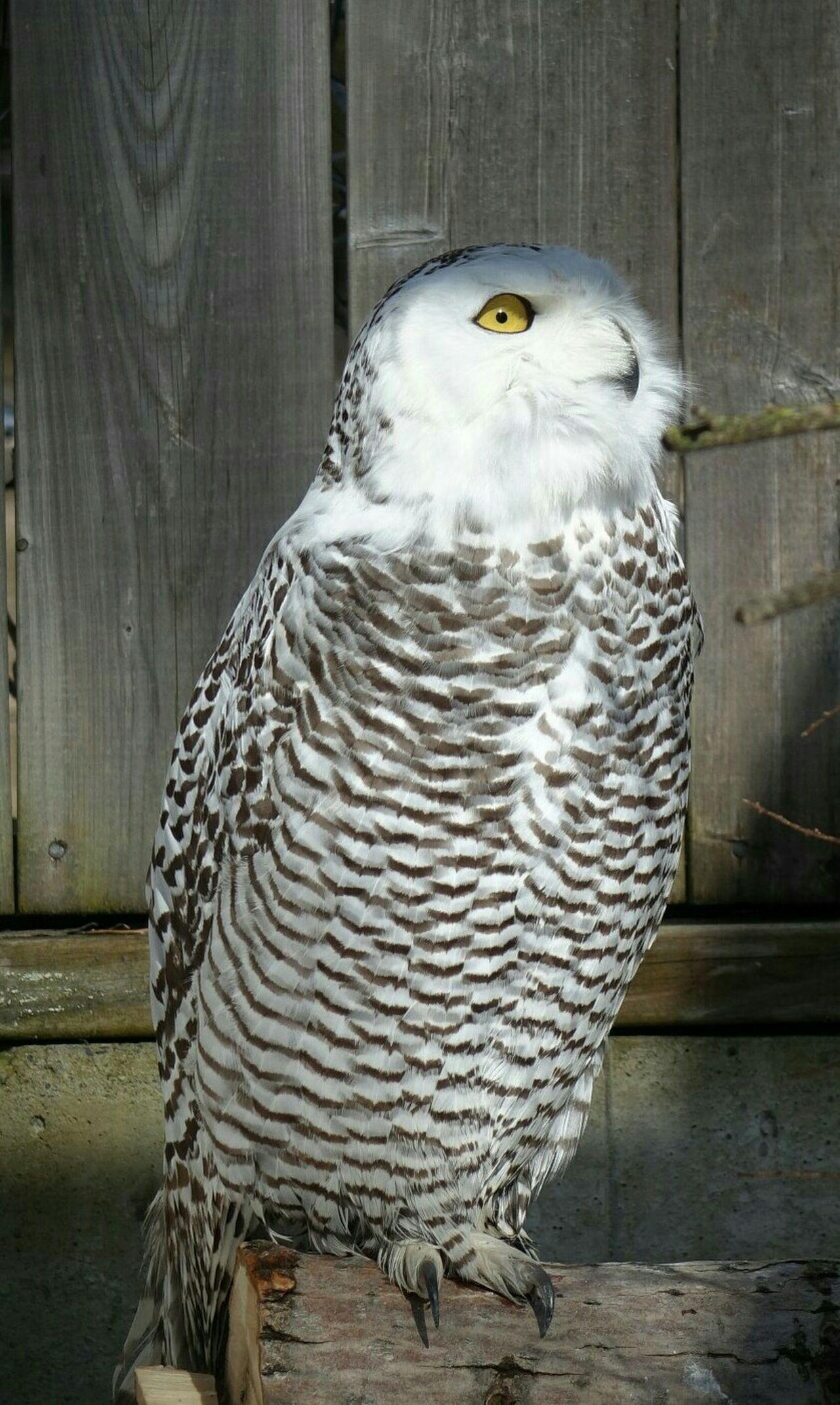 Beautiful stock photos of owl, Animal Themes, Animals In Captivity, Animals In The Wild, Bird