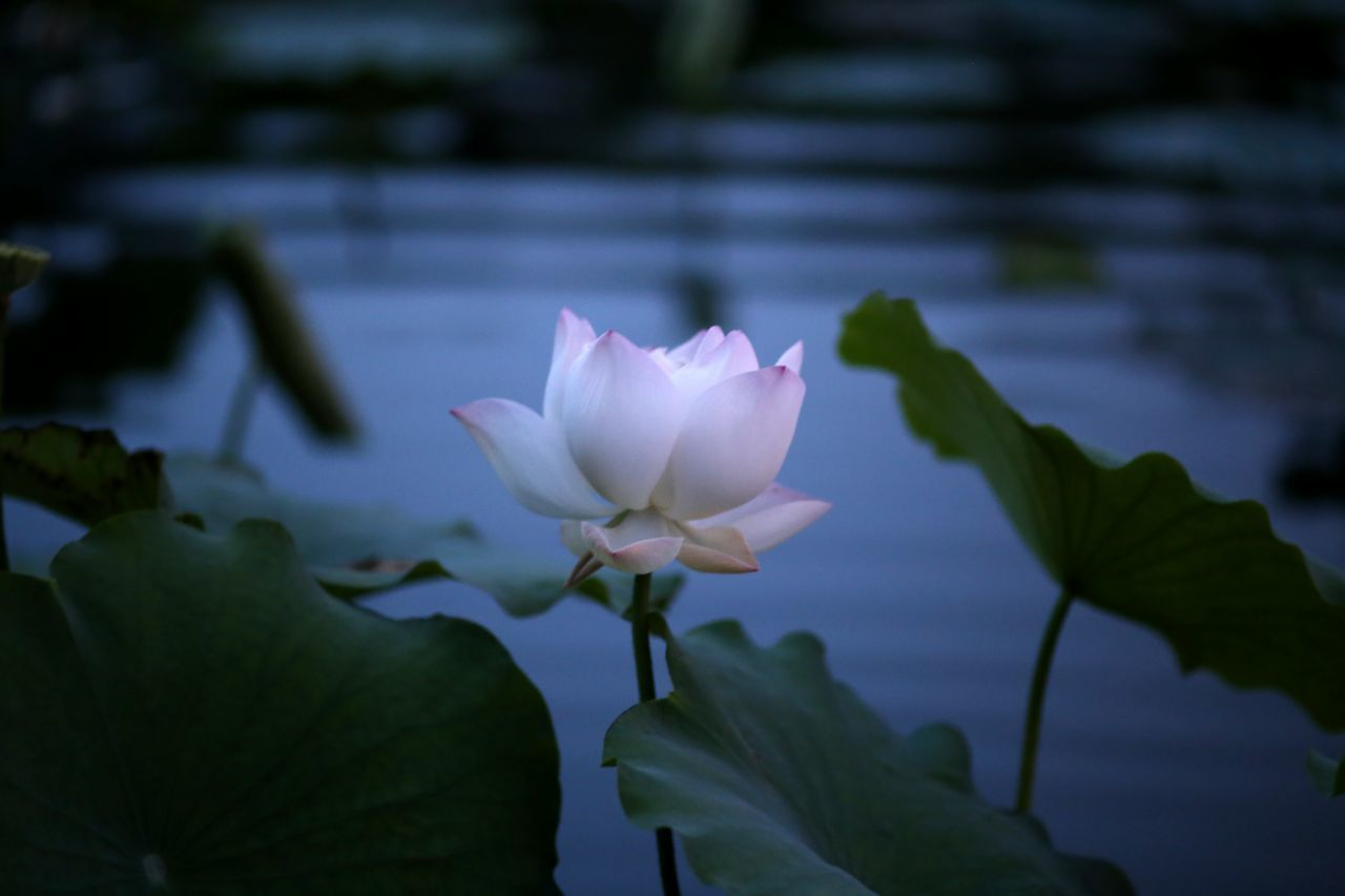 flower, petal, fragility, freshness, flower head, growth, beauty in nature, leaf, close-up, water lily, nature, plant, focus on foreground, blooming, water, pond, stem, lotus water lily, single flower, pink color