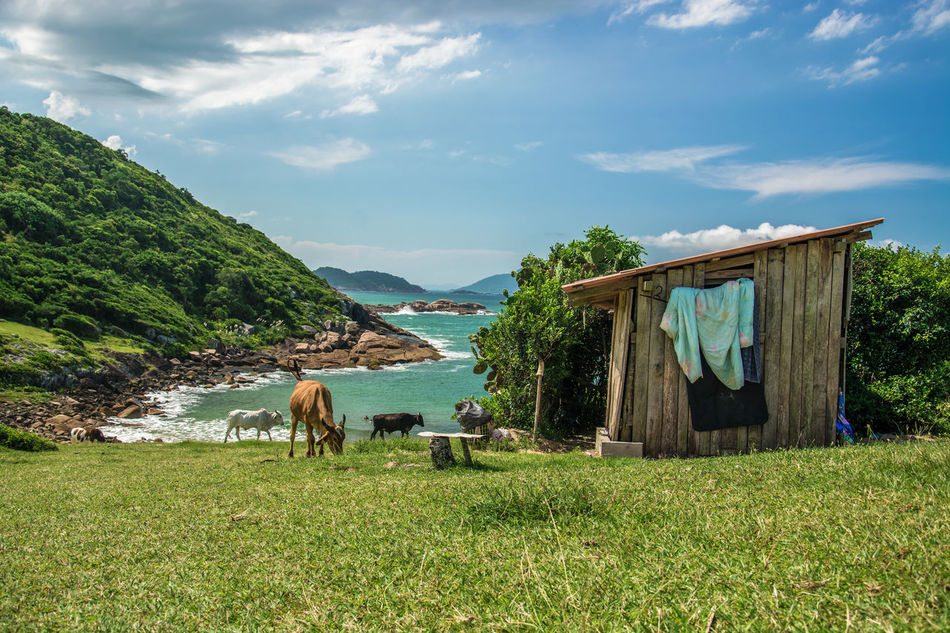 Animal Themes Backgrounds Beach Brasil Coastline Cow Landscape Paradise Santacatarina  Southamerica Tropical Turquoise Utopia Woodhouse