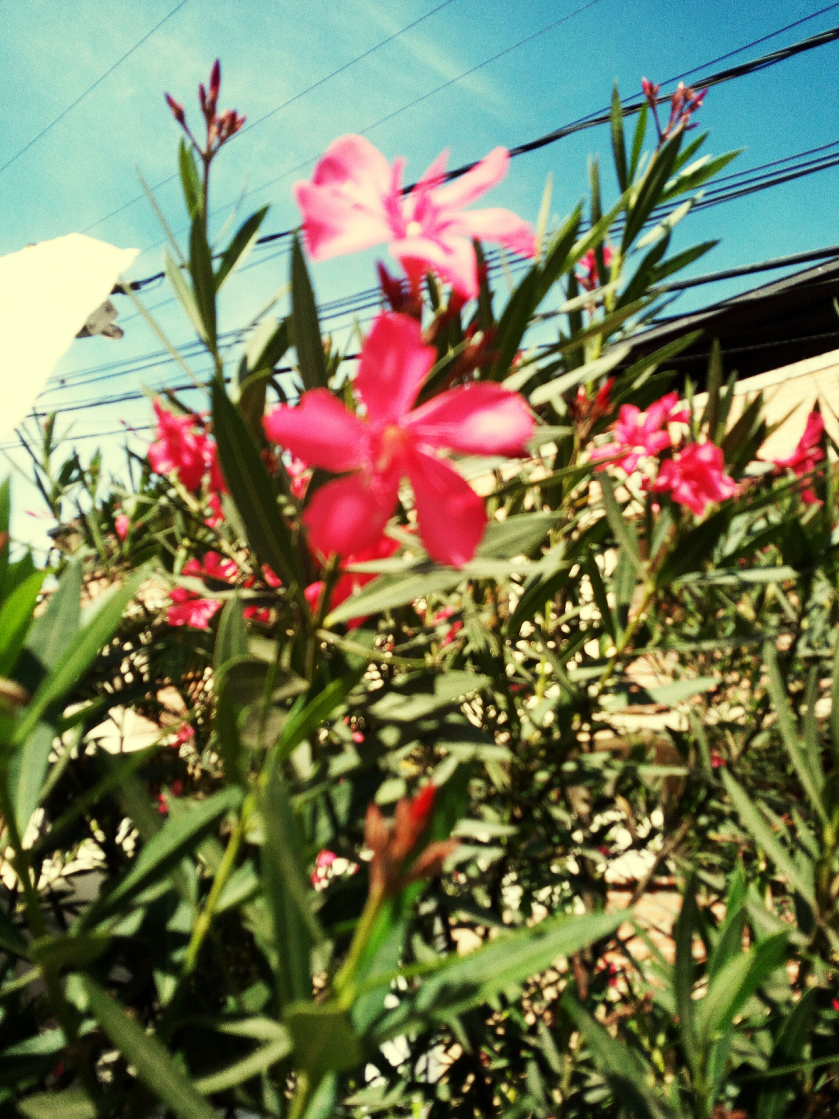 growth, flower, petal, nature, day, pink color, plant, beauty in nature, blooming, low angle view, no people, fragility, outdoors, green color, freshness, flower head, close-up, periwinkle