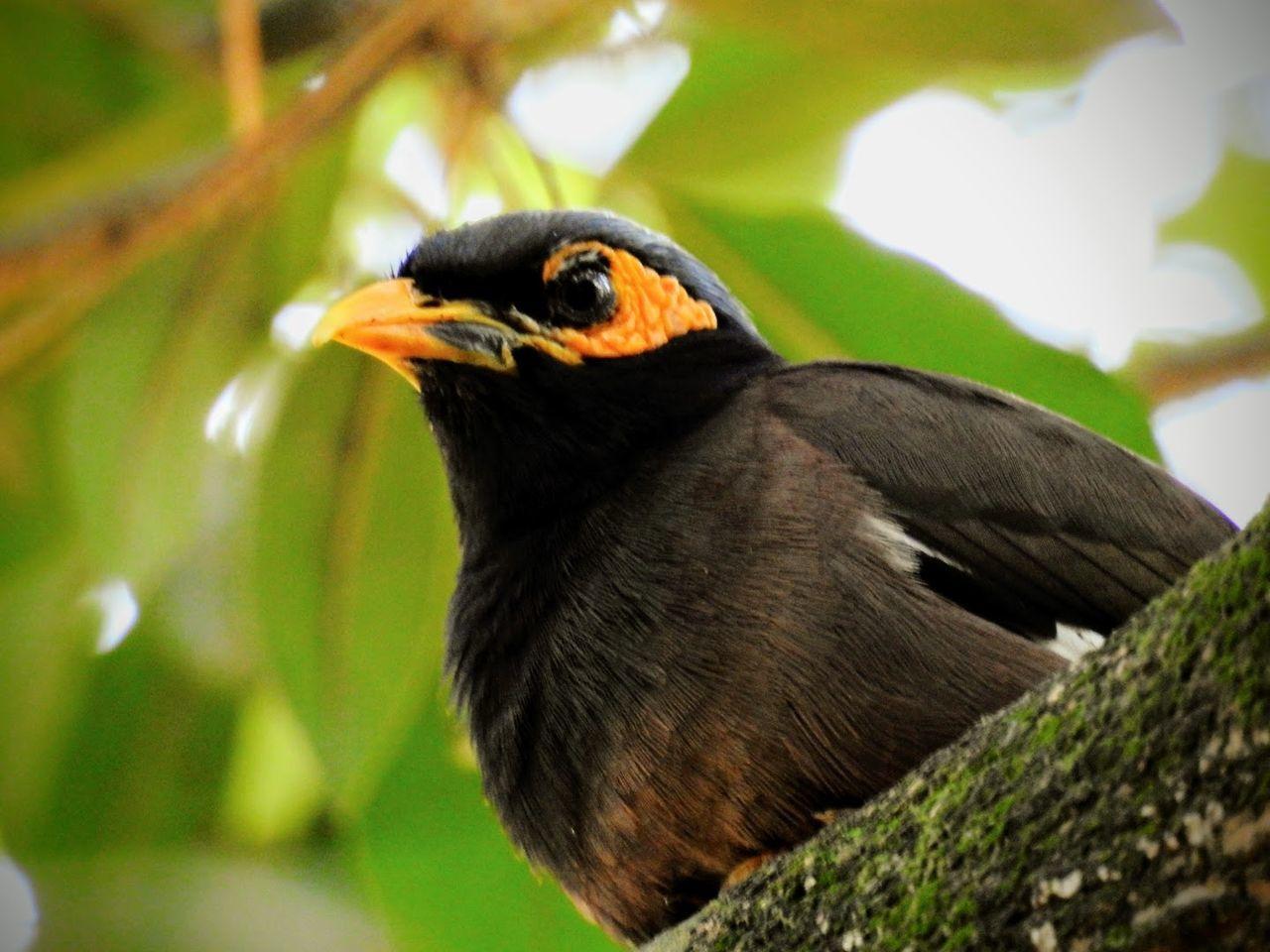 A mynah bird sitting on a branch Bird Animal Themes One Animal Nature Close-up Beak No People Outdoors Perching