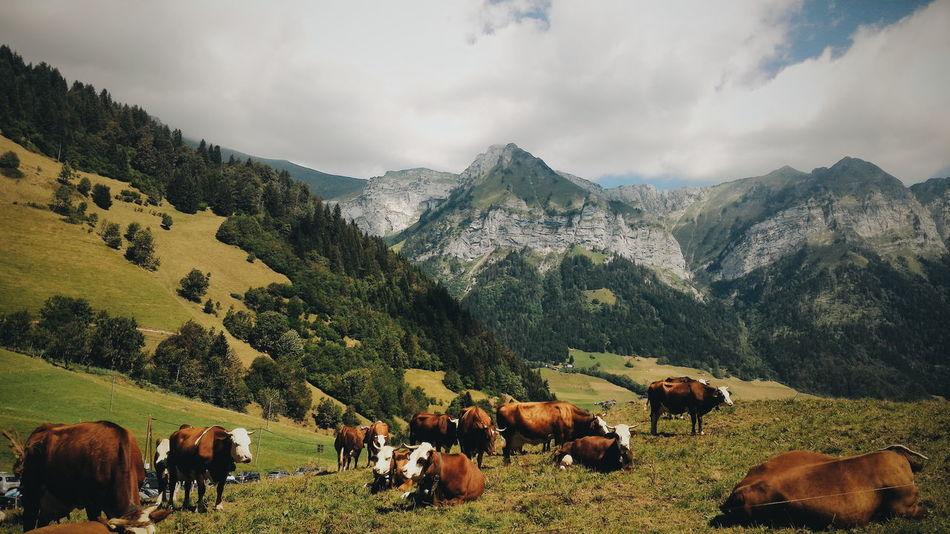 Beautiful stock photos of kühe,  Animal,  Animal Themes,  Cattle,  Cloud - Sky