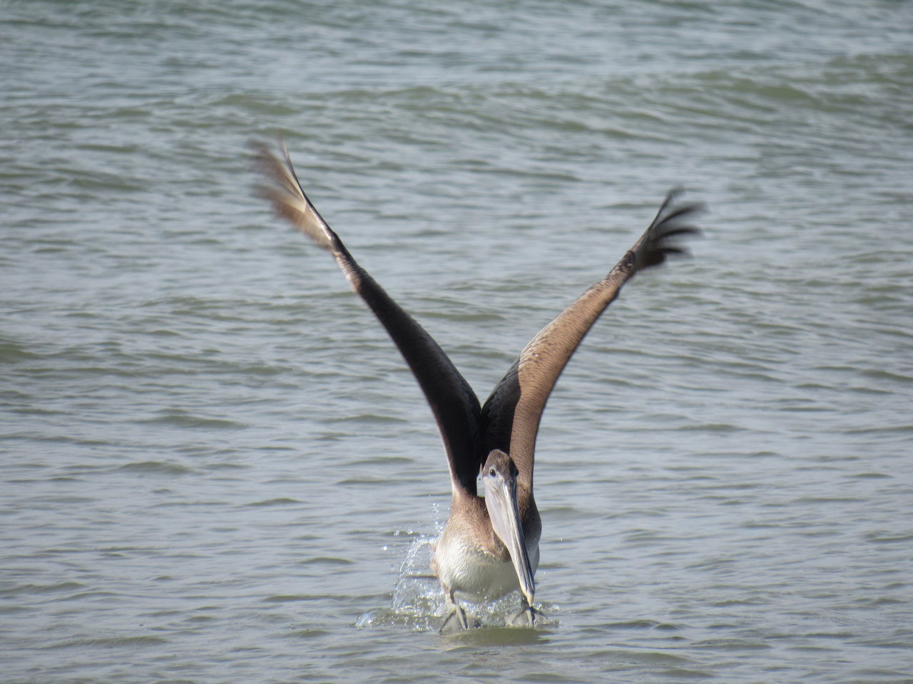 Landing Bird Brown Pelican Flying High Long Beak Ocean View Ocean Water Spread Your Wings Suttle Waves Water Landing