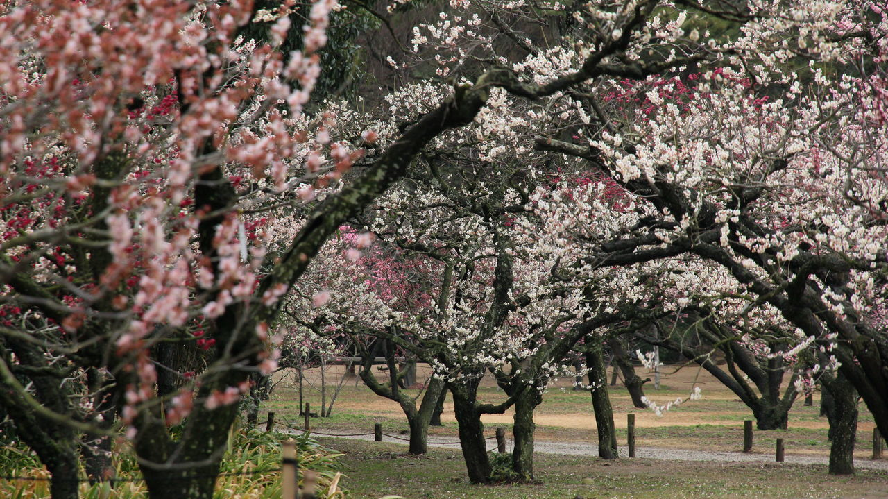 tree, blossom, springtime, flower, nature, almond tree, orchard, branch, growth, beauty in nature, no people, pink color, outdoors, day, freshness, fragility, scenics