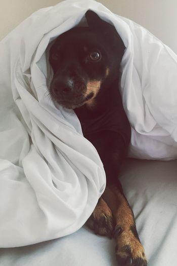 black dog Pets Dog Domestic Animals One Animal Mammal Animal Themes Canine Bed