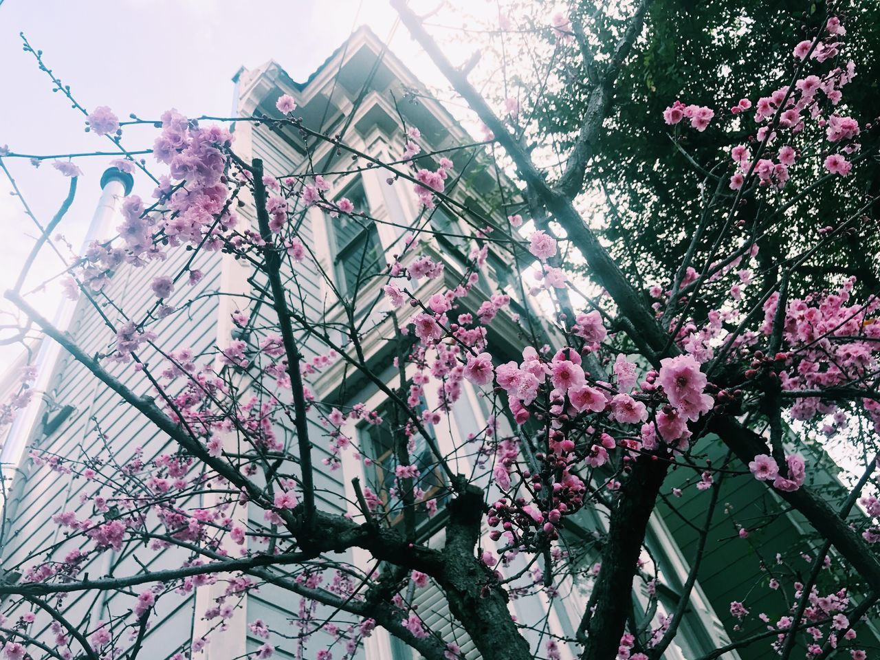 Spring is in the air // Cherry blossoms // Tree Low Angle View Growth Branch Nature Flower Blossom No People Architecture Beauty In Nature Built Structure Pink Color Sky Building Exterior Outdoors Fragility Cherry Tree Day Freshness Lilac