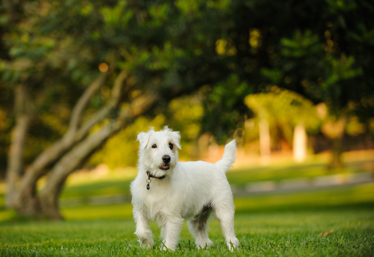 White Dog Standing On Field At Park
