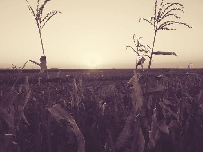 @matflo @matflo Photo Edited By @wolfzuachis @matflo Photography Beautiful Color Of Life Colorful Corn Field Corn Plant Field Corn Plantation Corn Plants Crop Field Crops Edited Edited By @wolfzuachis Edited Nature Enhanced Filtered Image Matflo Matflo Photography Nature Sun Sunrise Sunset Sunset_collection Uploaded By @wolfzuachis