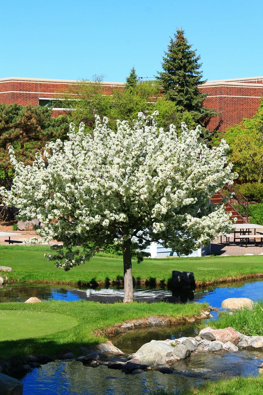 Fresh White Flowers Tree Blooming By Pond In Park
