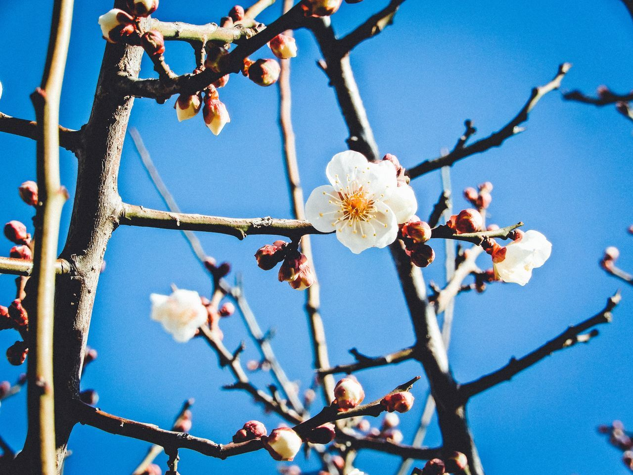 Apple Tree Beautiful Nature Beauty In Nature Beauty In Nature Blooming Blossom Branch Day EyeEm Best Shots EyeEm Nature Lover Flower Flower Head Freshness Growth Lovely Low Angle View Nature Nature No People Outdoors Petal Plum Blossom Sky Tree Twig