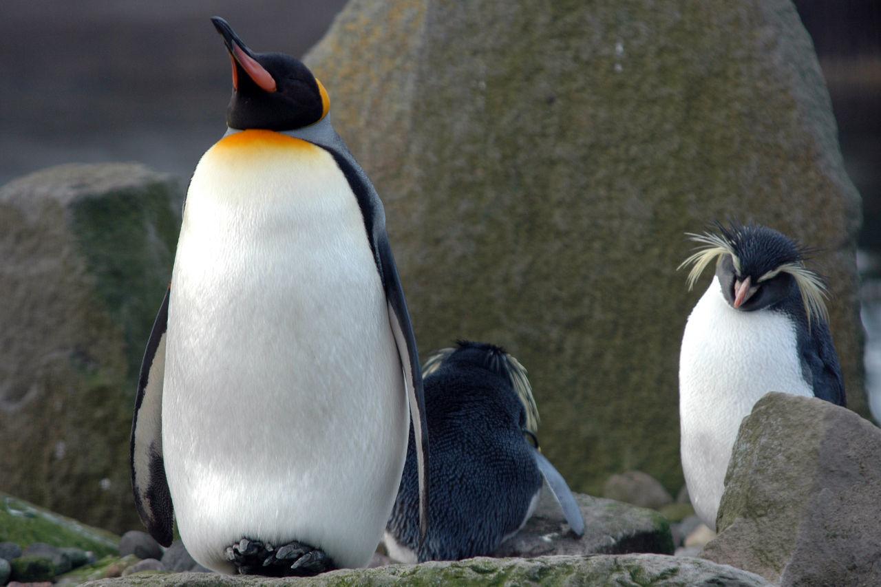 Beautiful stock photos of pinguin, Animal Themes, Animal Wildlife, Animals In The Wild, Beak