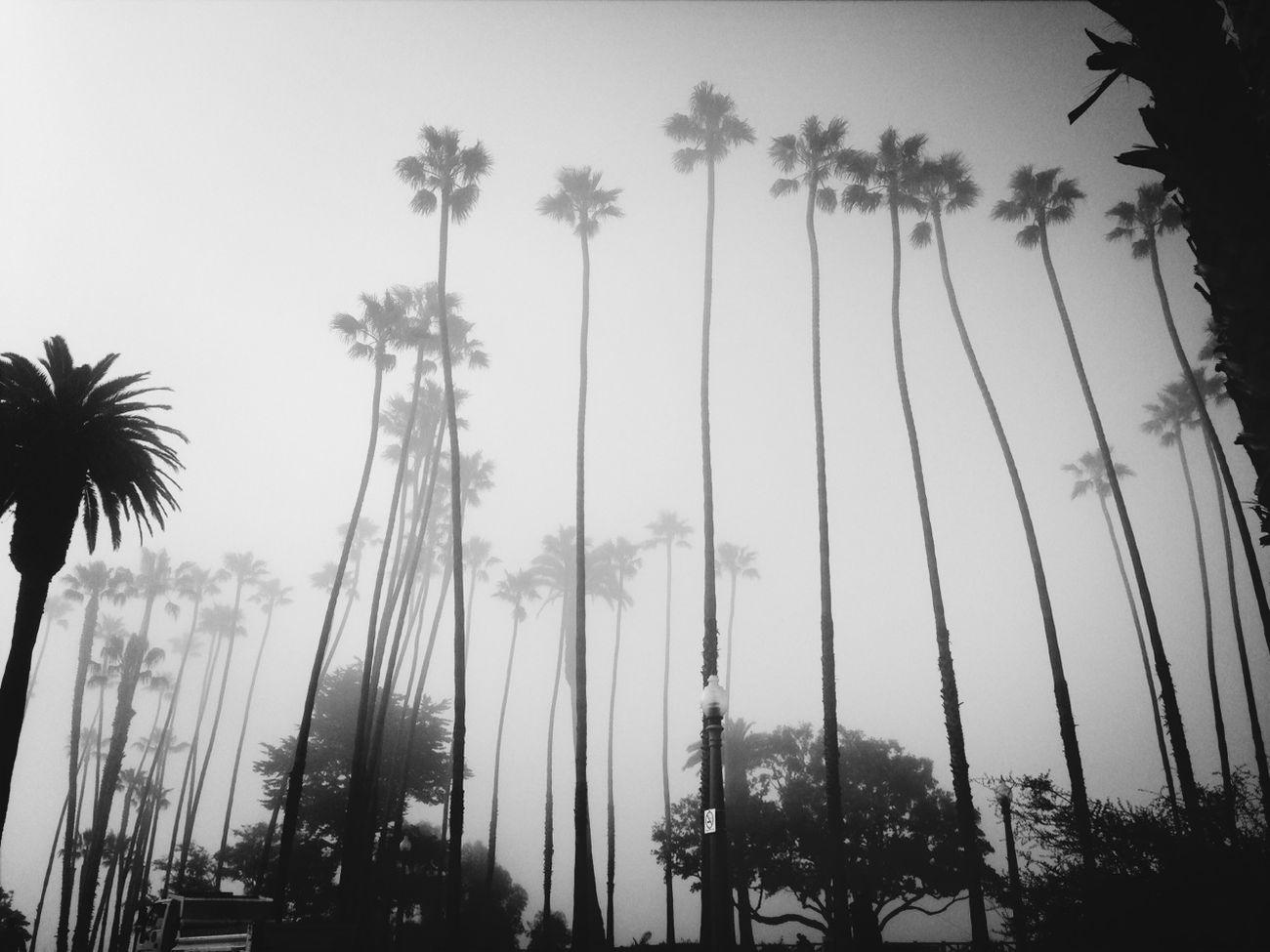 Blackandwhite Fog Palm Trees NEM Black&white