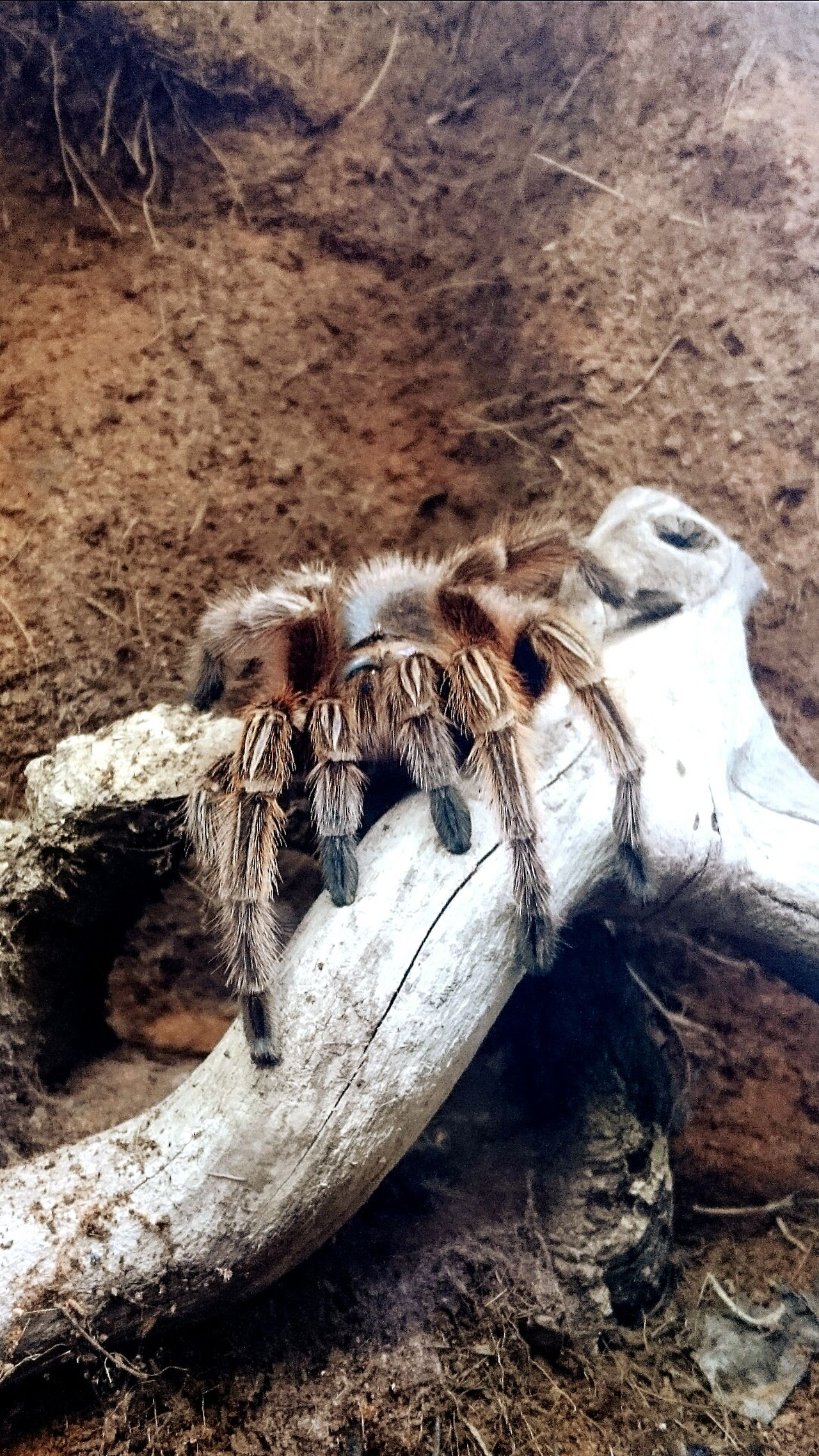 Spider Tarantula Check This Out Blueplanet Blueplanetaquarium
