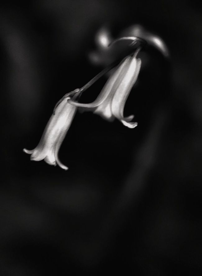 Bluebells in love Blackandwhite Flowers, Nature And Beauty Flower Photography Macro_flower Flowers_collection Blackandwhite Photography Black And White Flower Collection Flower Collection Flowerporn