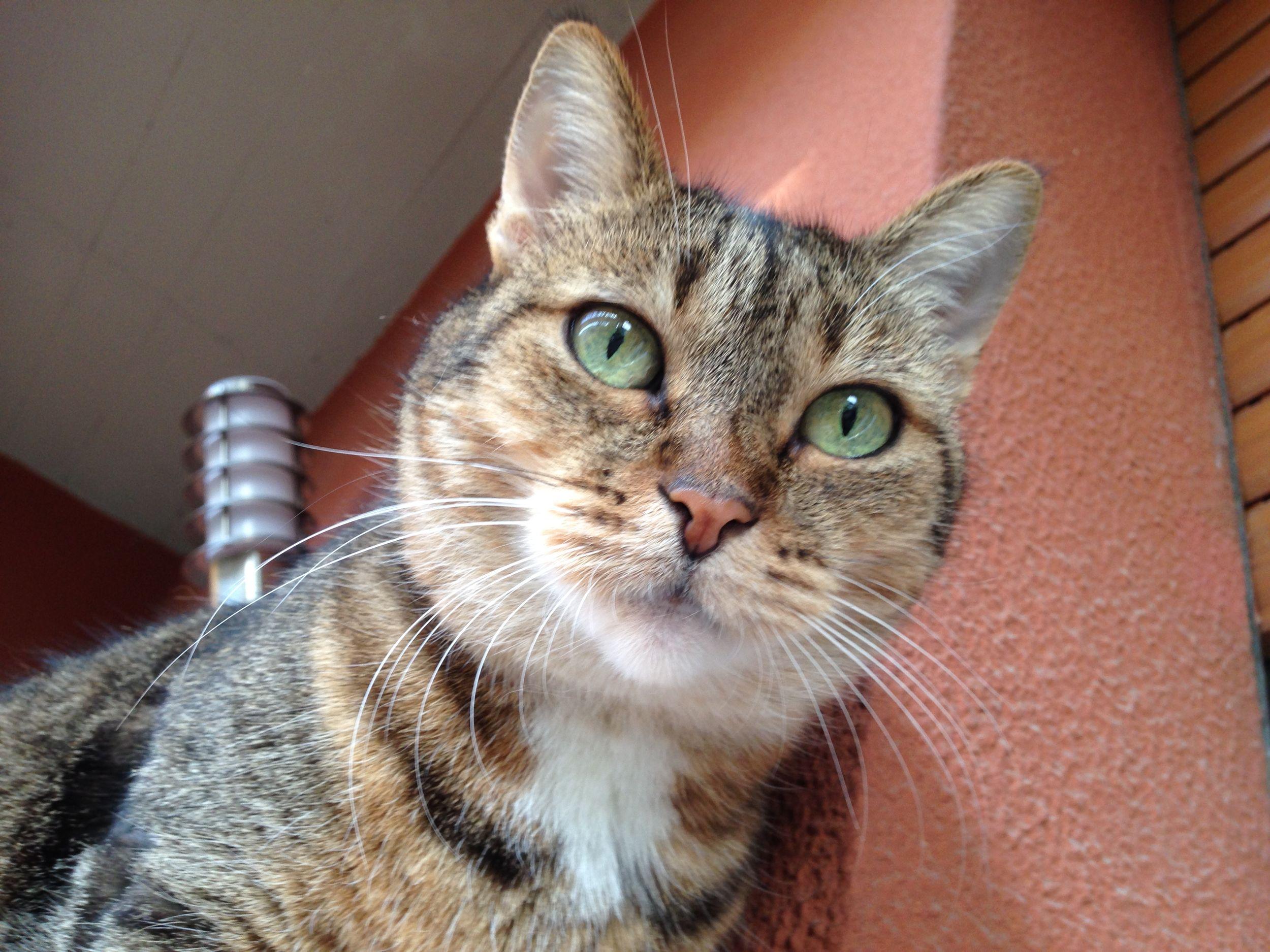 Animal Head  Cat Domestic Animals Domestic Cat Feline Looking At Camera Portrait Zigarina