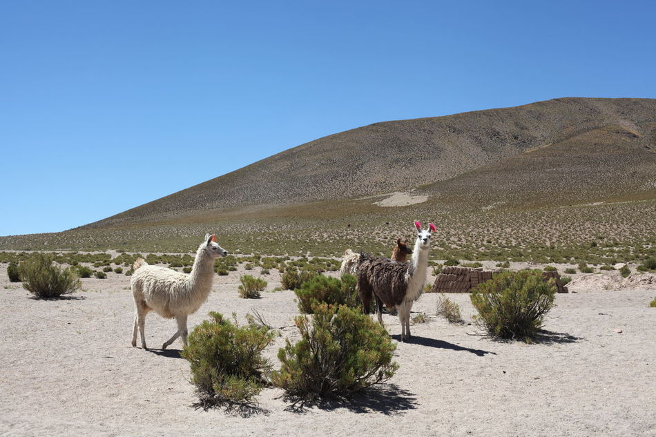 Beautiful stock photos of llama, Animal Themes, Arid Climate, Blue, Clear Sky