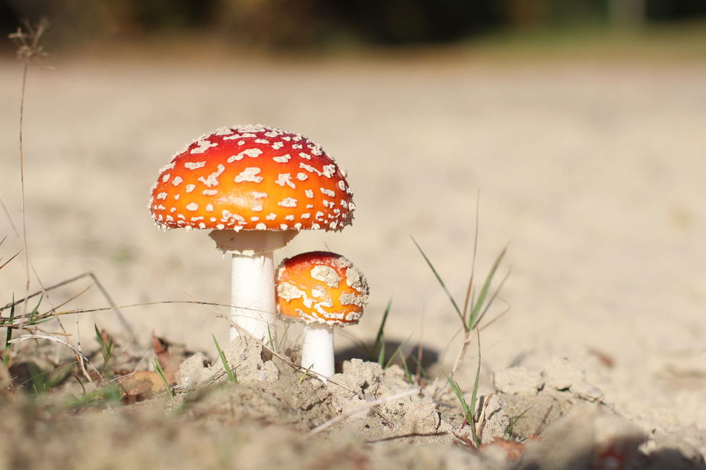 80d Beauty In Nature Beauty In Nature Canon 80D Canon80d Close-up Eos 80d Fliegenpilz Fliegenpilze Fly Agaric Mushroom Fungus Giftpilze Mushroom Nature Outdoors Pillow Red