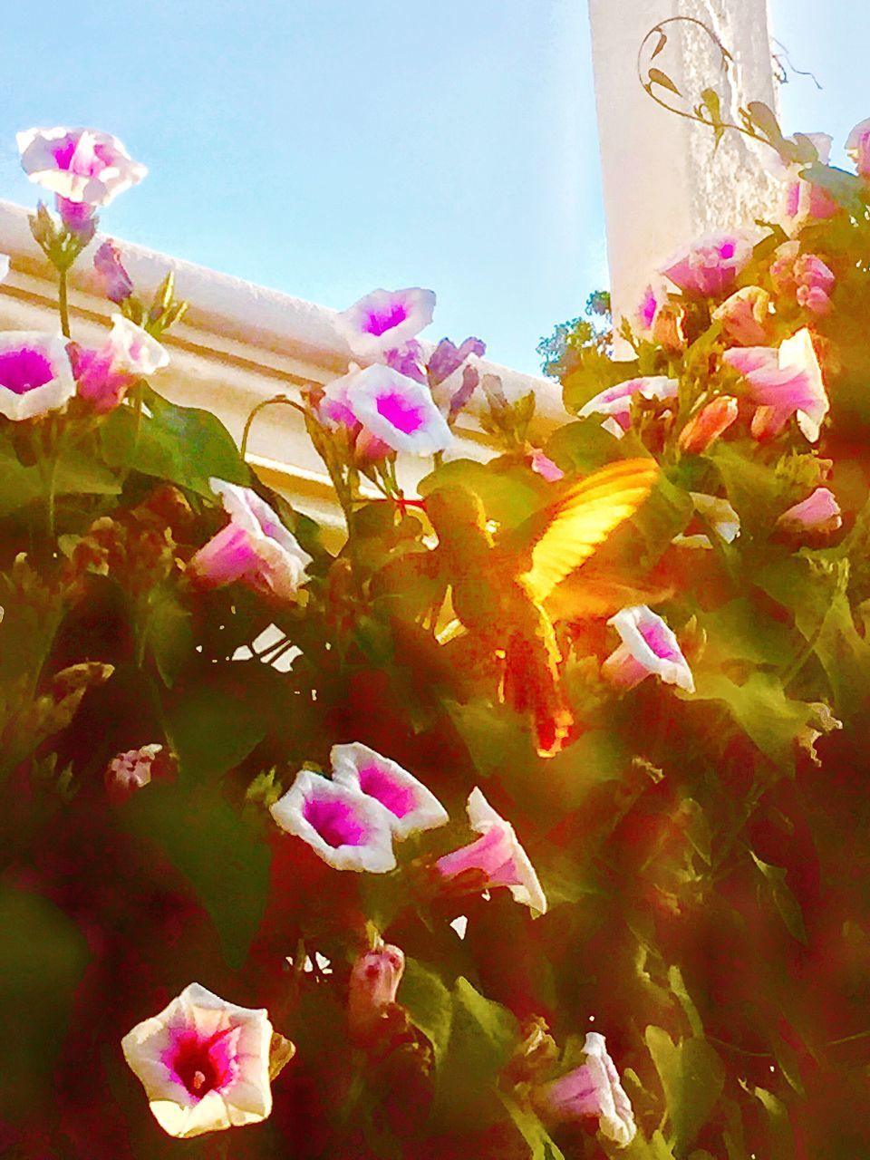 flower, petal, pink color, no people, fragility, day, nature, bougainvillea, outdoors, beauty in nature, low angle view, growth, plant, close-up, flower head, blooming, freshness, sky