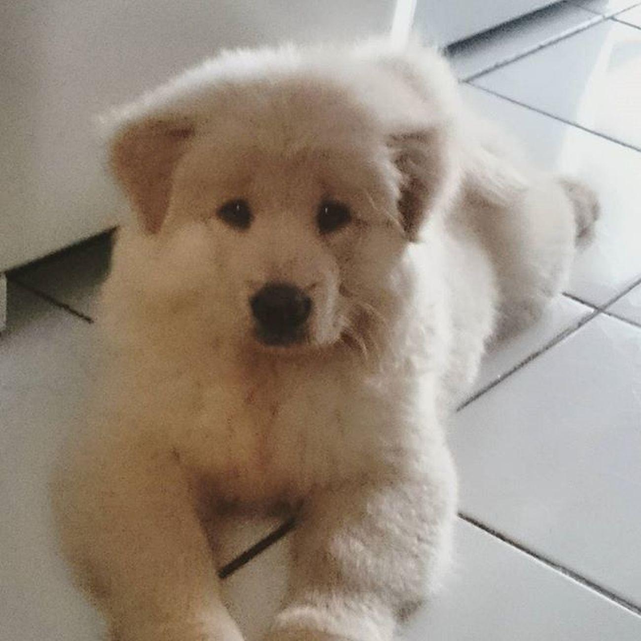 Como não amar 😍 Susake ChowChow Chowchowlovers Dog Love Baby 's