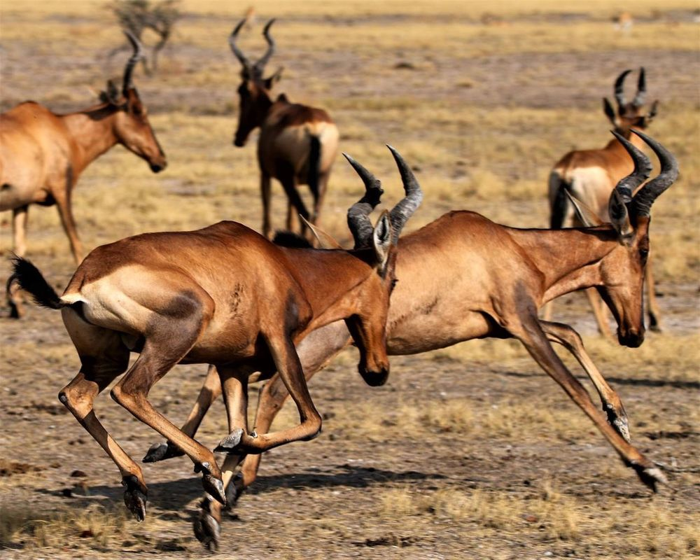 Africa Red Hartebeest