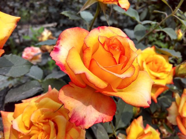 Yellow_rose Midday_clickScorchy_weather Toomanyroses