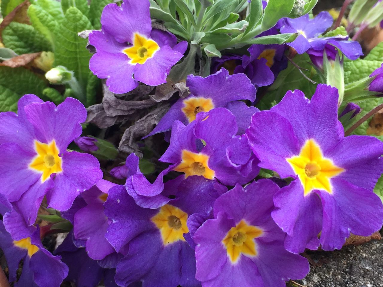 Flower Freshness Fragility Petal Purple Beauty In Nature Nature Flower Head Blooming Growth No People Day Outdoors Plant Close-up Plant Growth Freshness Beauty In Nature Primrose Blossom