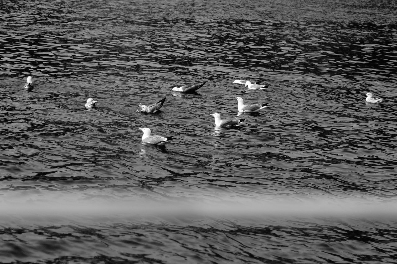 animal themes, animals in the wild, water, bird, lake, animal wildlife, nature, no people, young bird, rippled, swimming, waterfront, water bird, outdoors, day, goose, large group of animals, togetherness, swan