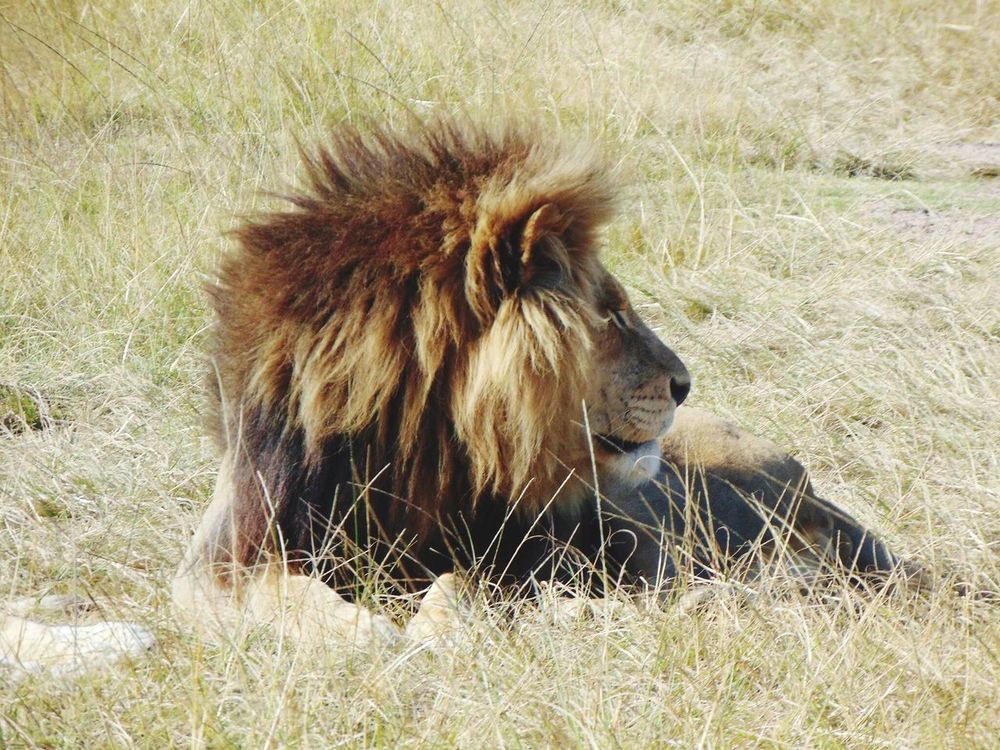 Die leeu is die koning🦁🇿🇦 King Beast Lion Fur Boss Animal Top Cat In The Big 5 Life The Essence Of Summer Life In The Morning Chilling South Africa