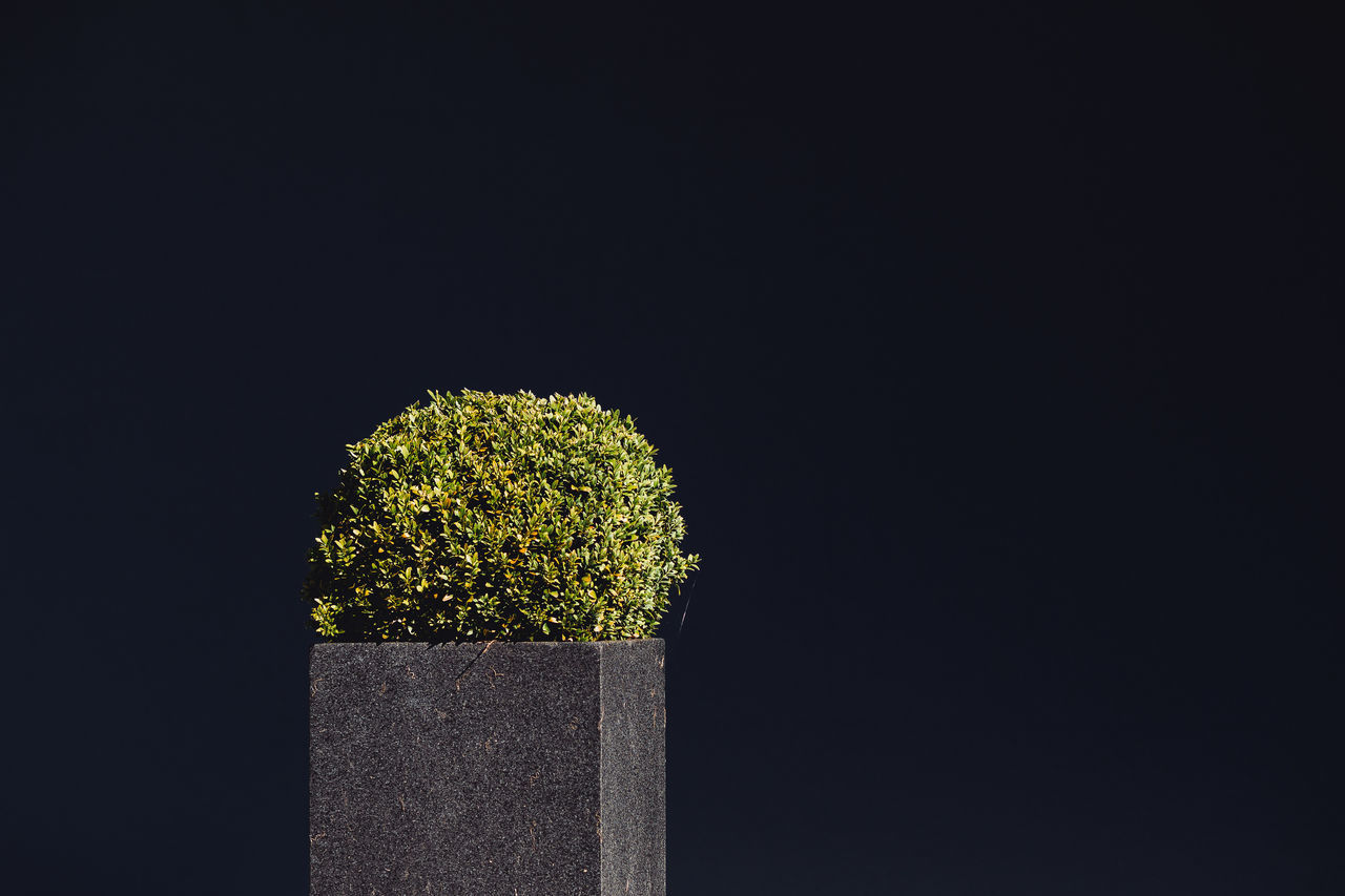 Buxus sempervirens Architecture Black Background Buxus Close-up Copy Space Freshness Minimalism Nature Nature Night No People Plant Shadow Studio Shot Sunlight Sunlight And Shadow