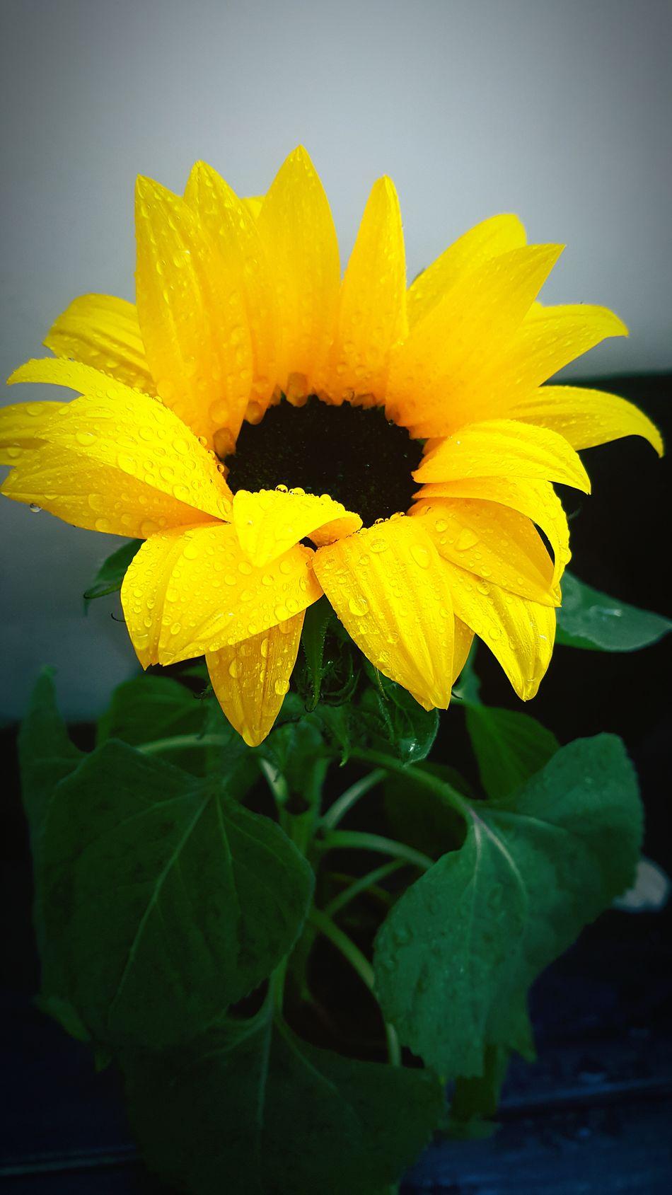 Kwiaty Słonecznik Balkon Beautyful  Yellow Yellow Flower Flower Photography Flowers, Nature And Beauty Flower Sunflower🌻 Plants 🌱 Drewdrop Drew Drops