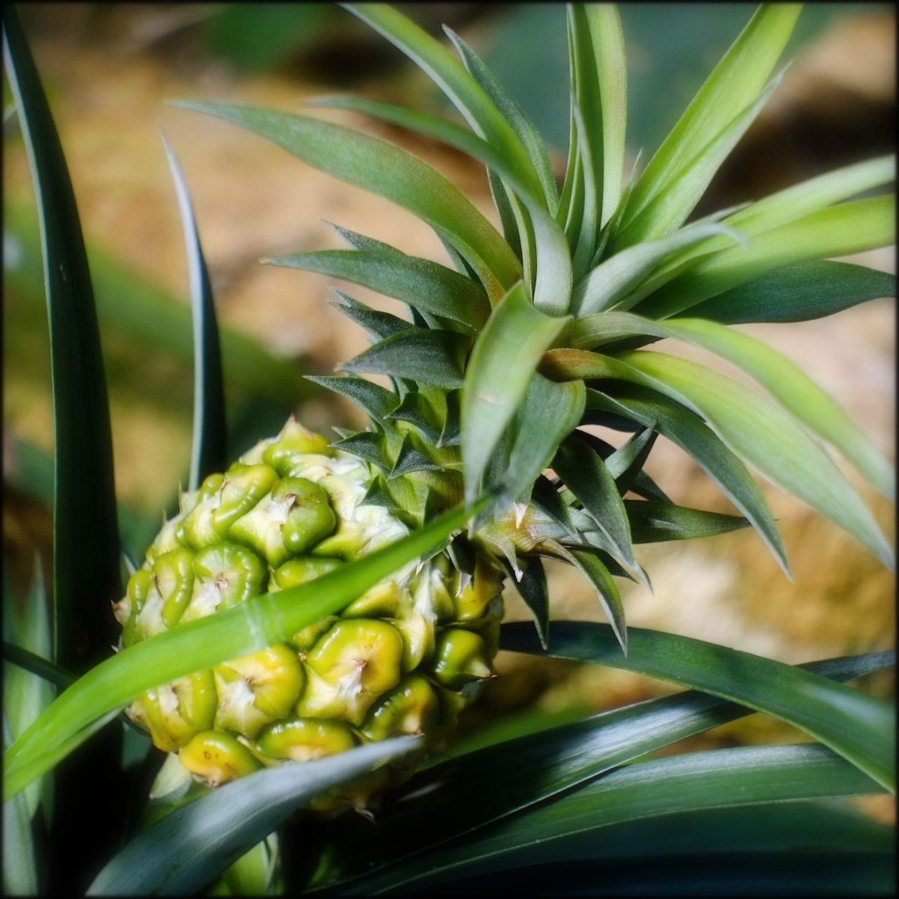 Miniature Pineapple Tropical Fruits Kew Gardens