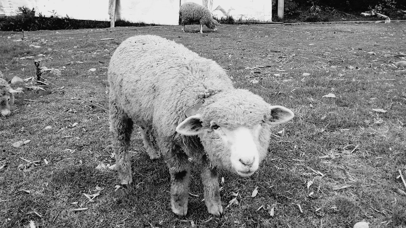Sheep Peru Animals Black And White Photography