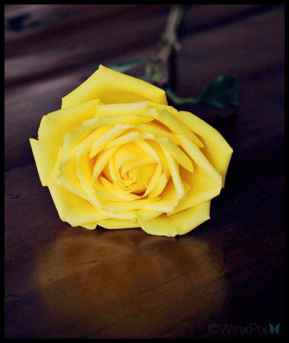 """Yellow Rose"". Yellow Rose Yellow Roses Yellow Flower Yellow Color Rosa Amarilla Rosas🌹🌹 Pretty Rose  Love Roses Love_flowers"