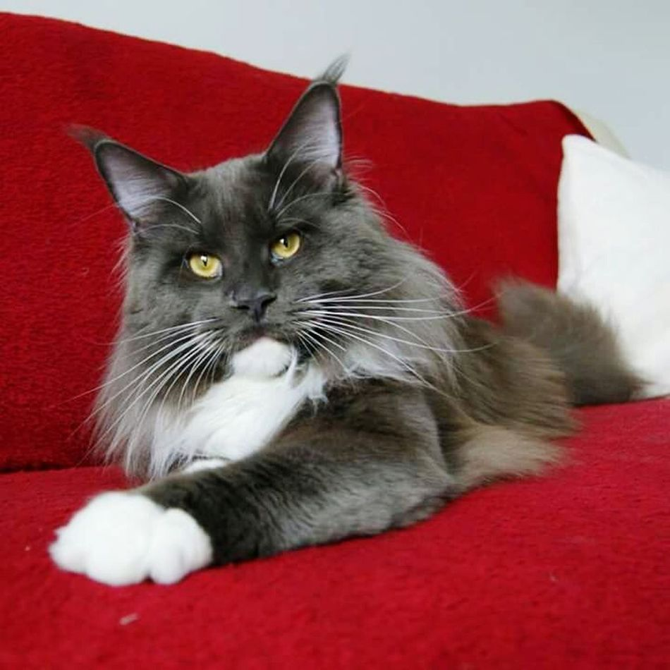 Not my cat: Taking Photos Hi! Mainecoon First Eyeem Photo Cats 🐱 Ilovecat Cat Lovers