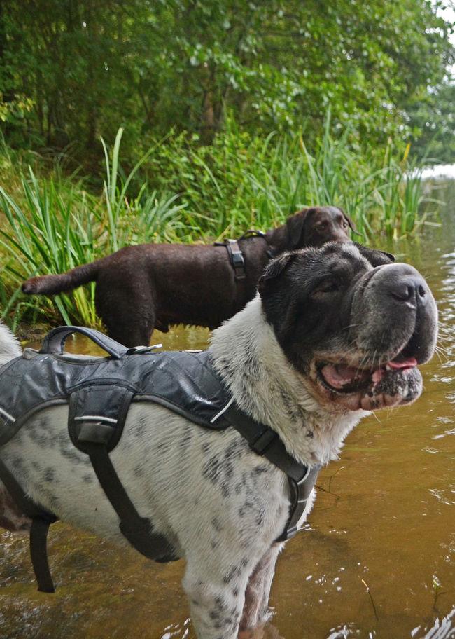 River Fluss Water Wasser Dog Doglover Dogphotography Dogstagram Dog Lover Labrador LabradorRetriever Shar Pei Labrador Retriever Spielen Play Ruffwear DOGPLAY Dogs Playing  HEAD Kopf