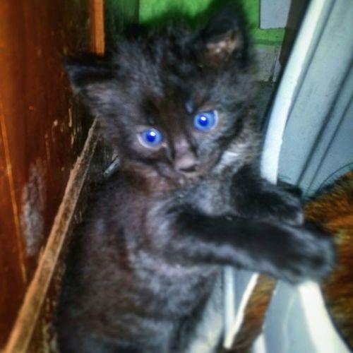 Cat BlueEyes Mavigoz Phonecamera