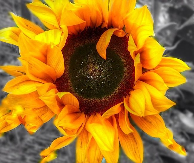 Sunflower Coloursplash The World Needs More Yellow For My Friends That Connect