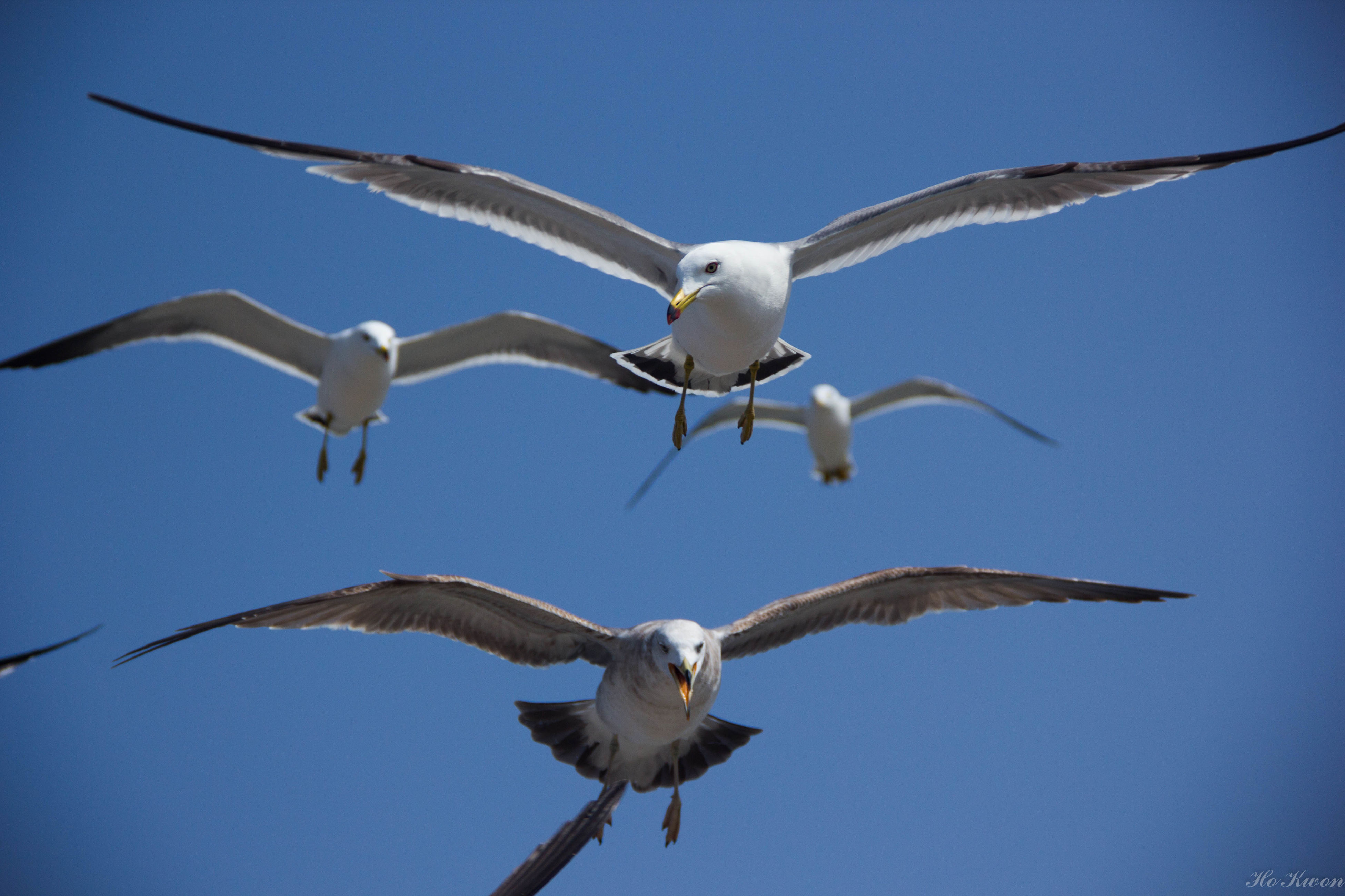 bird, animal themes, animals in the wild, flying, spread wings, wildlife, low angle view, seagull, clear sky, mid-air, blue, one animal, sky, animal wing, full length, nature, day, flight, motion, zoology