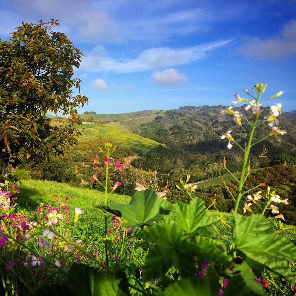 California spring. Outdoors California Nature Gaviotacoast Goleta Ranch Agriculture Avocado