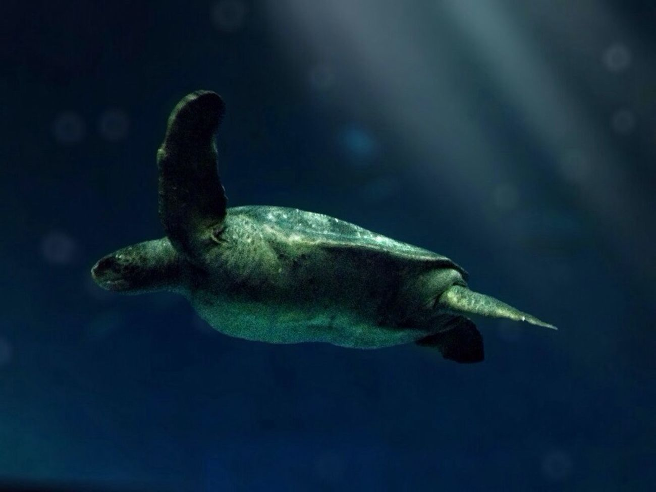 Seaturtle Blue Ocean SCUBA Monterey Bay Aquarium