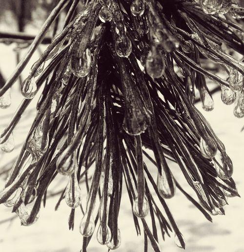Сосновые слезы. Природа вода лед растения Nature Water Ice Plants Tree No People Close-up