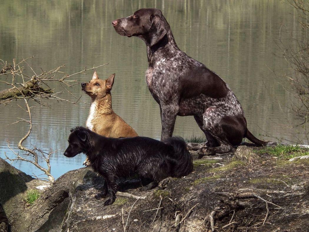 Tiras, Dexter en Wolf Germanshorthairedpointer Pets Animals Huntingdog Dogs Cute