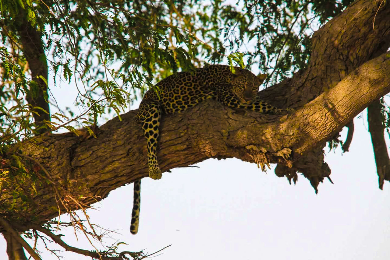 leopard, tree, animals in the wild, one animal, animal themes, nature, branch, mammal, outdoors, low angle view, safari animals, beauty in nature, animal wildlife, day, no people