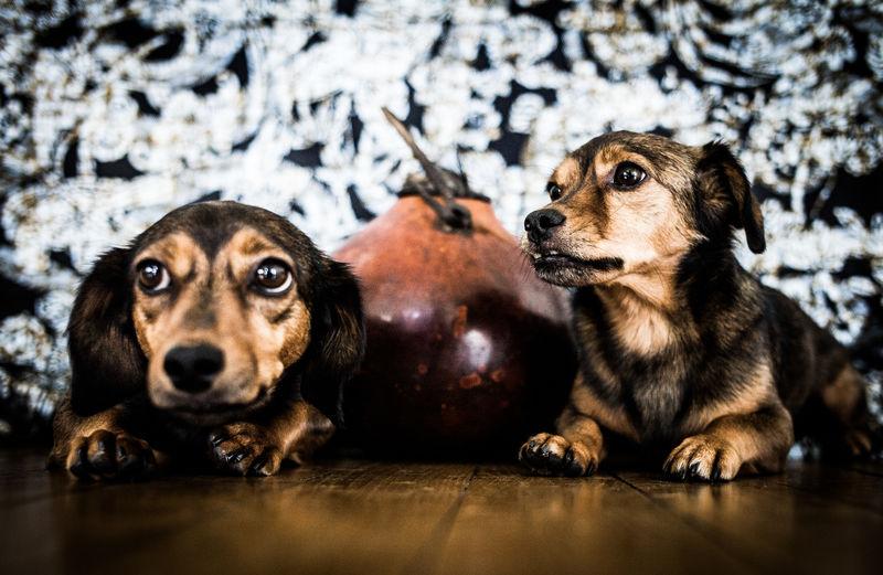 Dackel Dogs Of EyeEm Dogs On EyeEm EyeEm Best Shots Pimbu Schnuffi🐶🐩❤ Teckel The Week On EyeEm Animal Themes Animlas At Home Chiwawa Dog Doglife Pets Relaxed Moments Twin Twin Brothers  Two Dogs Waiting For Food